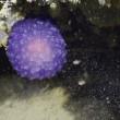 Il blob viola degli abissi, nuova specie sconosciuta3