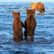 Orsetti si tengono per mano aspettando mamma orsa che va a caccia FOTO
