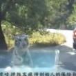 "YOUTUBE Tigre ""mangia"" paraurti...ancora a zoo Pechino5"