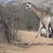 Leoni sbranano cucciolo: mamma giraffa non riesce a salvarlo3
