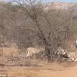 Leoni sbranano cucciolo: mamma giraffa non riesce a salvarlo4