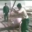 YOUTUBE Maiali torturati: così strappavano il cucciolo dalle scrofe VIDEO choc