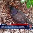 Moria misteriosa di uccelli a Boston gracchi cadono dal cielo5