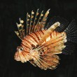 VIDEO YOUTUBE Pesce leone punge sub: le grida di dolore sott'acqua 4