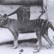 VIDEO YOUTUBE Tigre della Tasmania estinta o no? Avvistamento sospetto in Australia 3