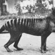 VIDEO YOUTUBE Tigre della Tasmania estinta o no? Avvistamento sospetto in Australia 2