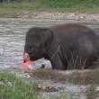 Elefantino salva ranger che fa finta di annegare 3