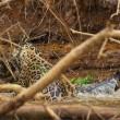 Giaguaro uccide caimano schiacciandogli il cranio6