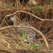 Giaguaro uccide caimano schiacciandogli il cranio4