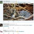 Giaguaro uccide caimano schiacciandogli il cranio2