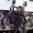 Ragno attacca alveare: api lo uccidono e poi muoiono5
