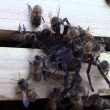 Ragno attacca alveare: api lo uccidono e poi muoiono4