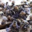 Ragno attacca alveare: api lo uccidono e poi muoiono3