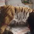 Tigre ferita sul letto di casa: spot commovente Wwf 10