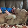 YOUTUBE-FOTO Bulldog americano accudisce e lecca neonato 3