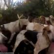 Cani sbranano volpe malgrado sia vietata la caccia in Inghilterra4