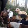 Cani sbranano volpe malgrado sia vietata la caccia in Inghilterra3