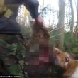 Cani sbranano volpe malgrado sia vietata la caccia in Inghilterra2