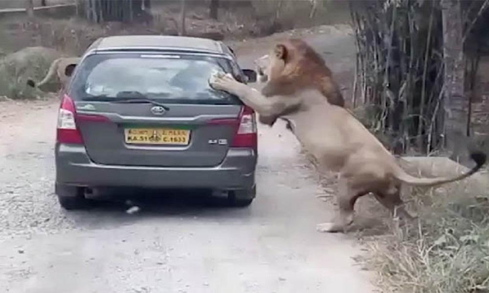 Leone scuote la macchina dei turisti al safari1