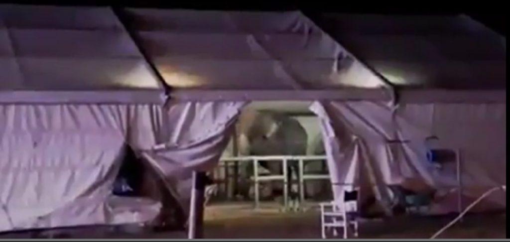 Elefante vive nel circo è alienato: sa solo dondolarsi VIDEO