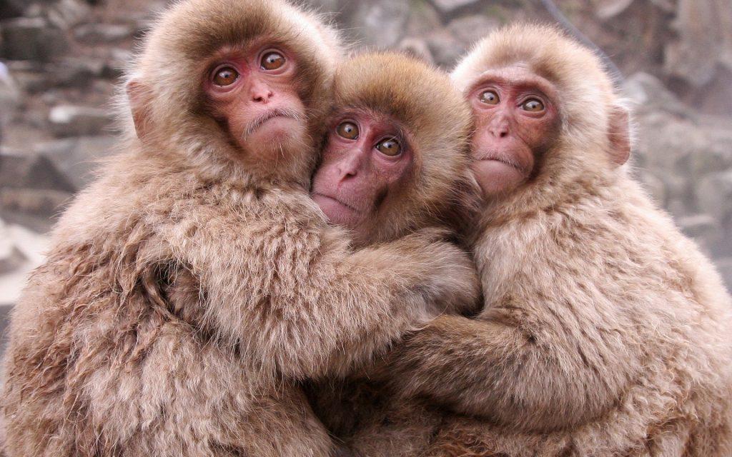 """Zoo abbatte 57 macachi con iniezione letale. """"Hanno geni invasivi"""""""
