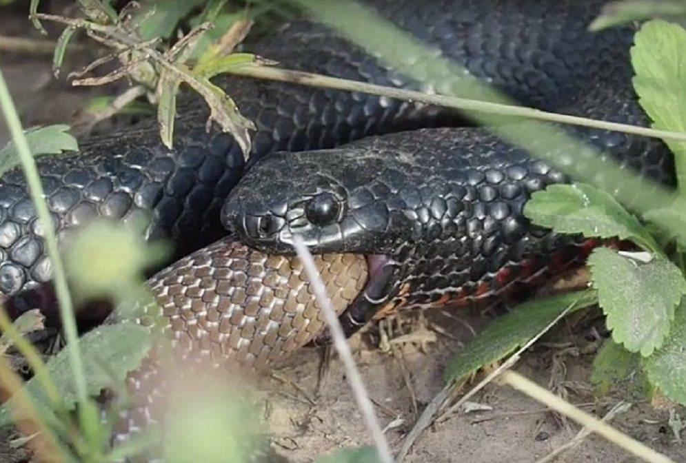 Serpenti velenosi lottano4
