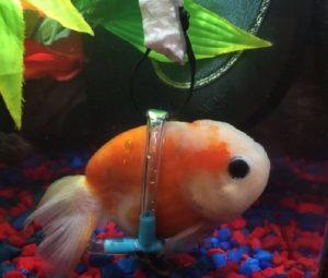 Il pesce rosso con la sedia a rotelle per un disturbo alla ...