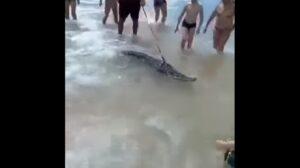 YOUTUBE Coccodrillo al guinzaglio in spiaggia: padrone fermato e animale sequestrato