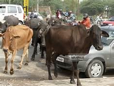 Mucche a New Delh