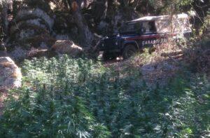 Nuoro, coltiva oltre 3mila piante di marijuana nelle campagne: arrestato