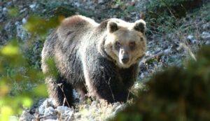 L'Aquila, scatta allarme: non è un ladro ma un orso in salotto, famiglia sotto choc