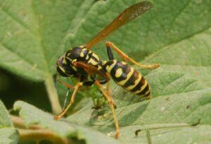 Savignano sul Rubicone (Cesena), Eliseo Tana muore per una puntura di vespa