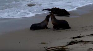 YOUTUBE Leoni marini liberi di nuovo: il bacio prima di entrare in acqua