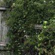 Australia, pitone mimetizzato nel giardino