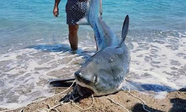 Squalo volpe da 200 kg pescato vicino Crotone: di solito stanno ai tropici...