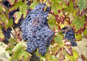 Brescia, ruba un grappolo d'uva e il proprietario della terra gli spara