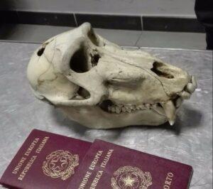 Torino, torna dalla vacanza con un cranio di babbuino in valigia: rischia multa da 15mila euro