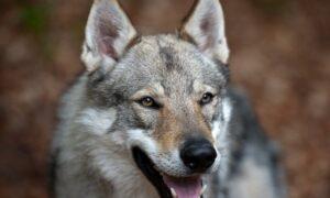 I lupi nel deserto mangiano i bambini in Israele