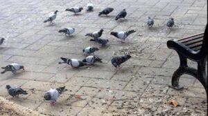 Nova Milanese, avvelenata da escrementi di piccione: in coma donna di 62 anni