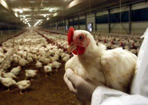 aviaria-allevamenti