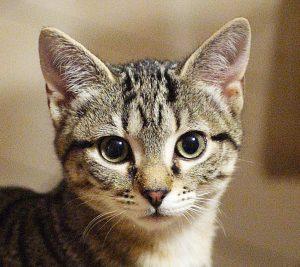 gatto-europeo-cura