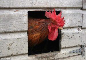 Pollo-omega3-infarto-uomo