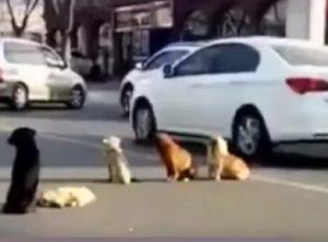 """Cane investito da auto, quattro """"compagni"""" vegliano in mezzo alla strada il suo corpo"""
