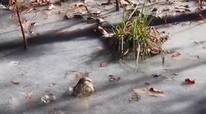 coccodrillo-ghiaccio-sopravviere