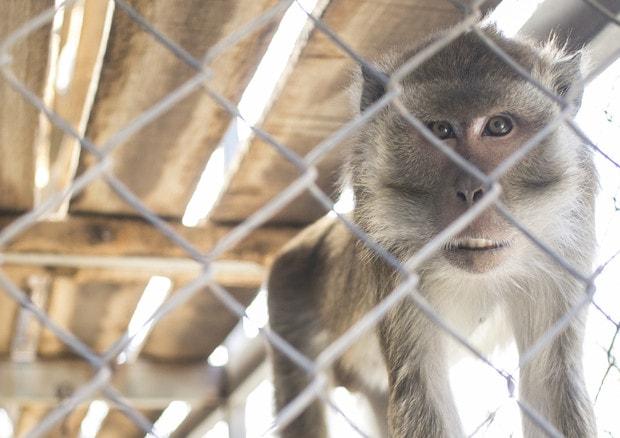 Scimmie usati per test auto diesel