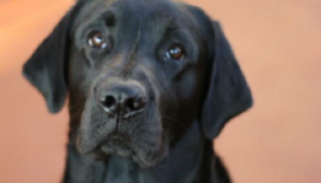 Cesare Lanza Addio A Pablo Il Mio Adorato Labrador
