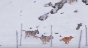 Lupi assalgono cane nel Parco Nazionale d'Abruzzo