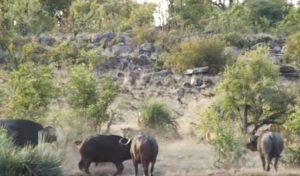 Cucciolo di elefante attaccato dai leoni: mandria di bufali lo salva