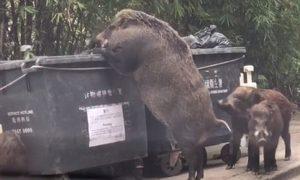 YOUTUBE Maiali giganti mangiano rifiuti nel centro di Hong Kong