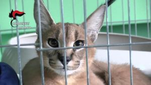 """Un gatto caracat è stato posto ai """"domiciliari"""" e un cane maremmano portato in canile"""